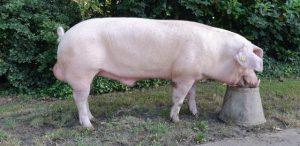 Zeugenlijnbeer Engels Landras - KI Bevel